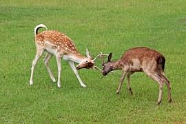 Strijd-deer